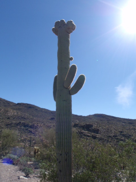Rare cactus with distorted top