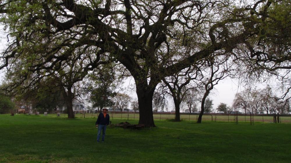 Huge oak tree.